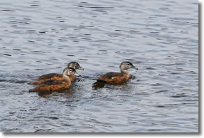 ct-river-ducks